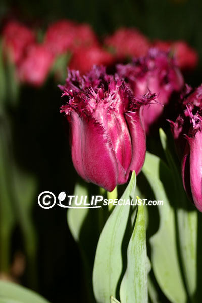 Gorilla Tulip Information