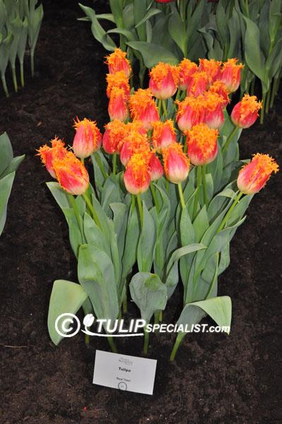 Realtime Tulip Information