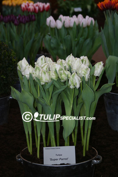 Super Parrot Tulip Information