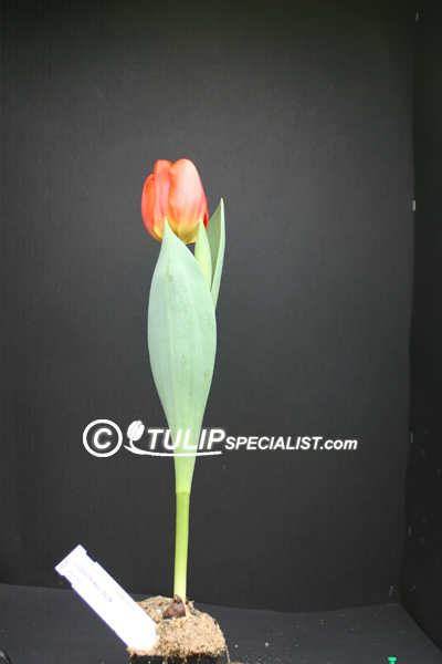 Lighting sun tulip information - Draadloze bloei lamp ...